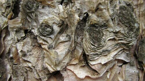 Берёза бумажная (Betula papyrifera). Автор: Лариса Петрович