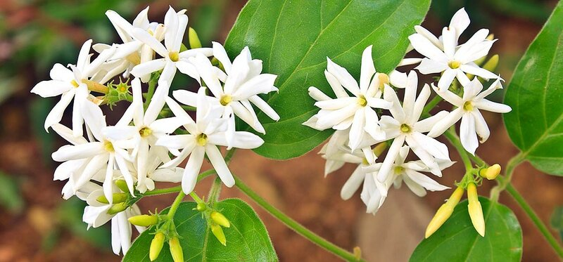 6927-beautiful-jasmine-flowers.jpg