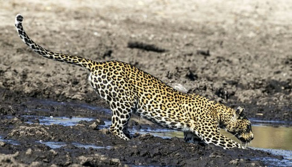 Без труда и леопард не выловит рыбку из пруда