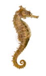 Side view of a Common Seahorse, Hippocampus kuda, isolated on wh