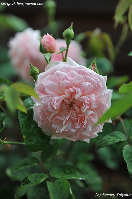 Rosa Eglantyne  (1).JPG