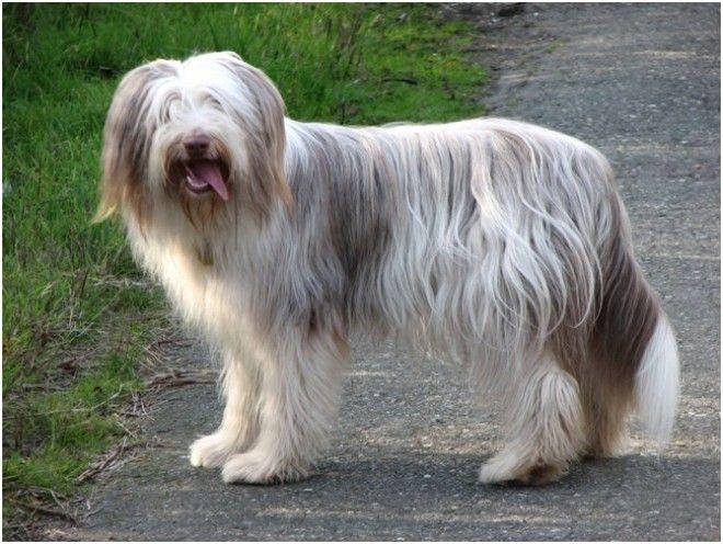 Лион бишон, или Львиная собака (Левхун) Миниатюрные животные впервые появились во Франции еще в 16 в
