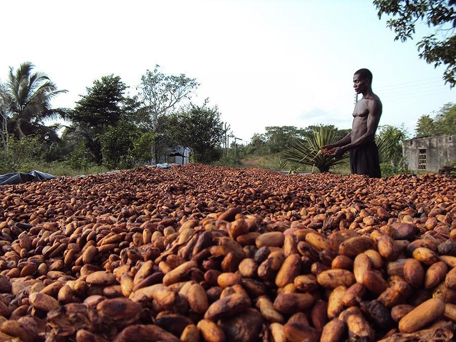 17. Кот-д'Ивуар на сегодняшний день считается ведущим мировым производителем бобов какао. Около 37%