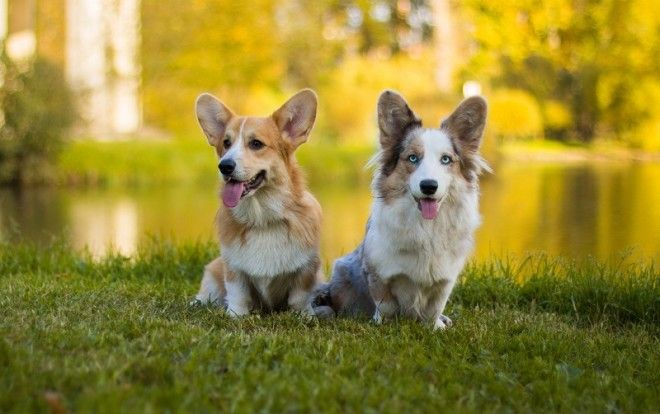 СПОСОБНЫЕ РЕБЯТА — ПОРОДЫ СОБАК С ХОРОШИМИ ДАННЫМИ Эти собаки начинают понимать простые новые