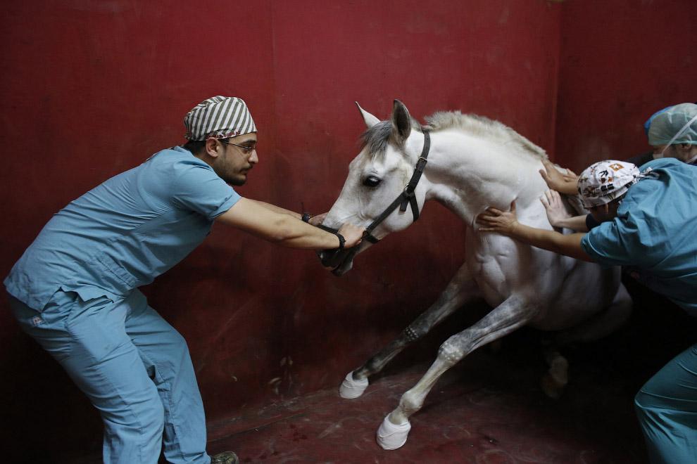 8. Этой лошади тоже ввели анестезию и она потеряла сознание. Стамбул, 6 апреля 2015. (Фото Mura