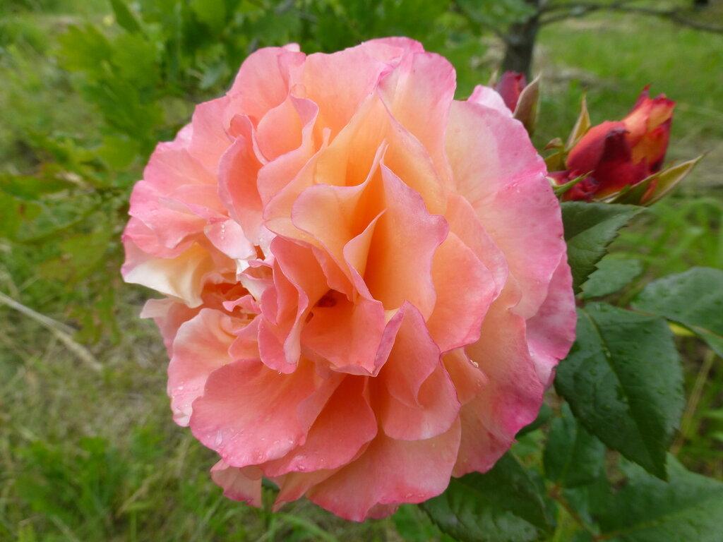 Розы с яйцами и прочие дачные радости L1270999.JPG