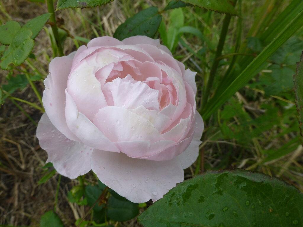 Розы с яйцами и прочие дачные радости L1280021.JPG
