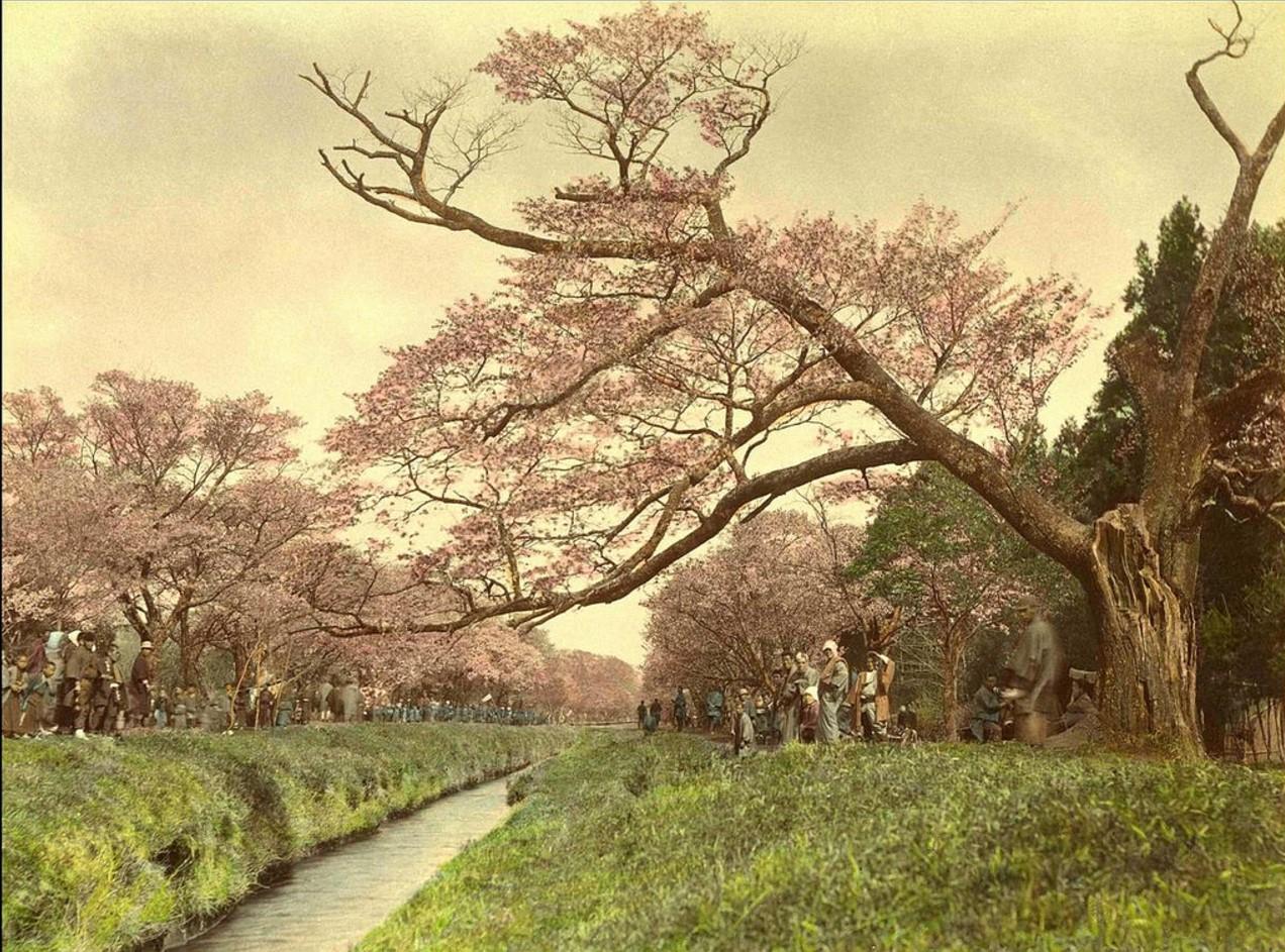 Токио. Цветение сакуры