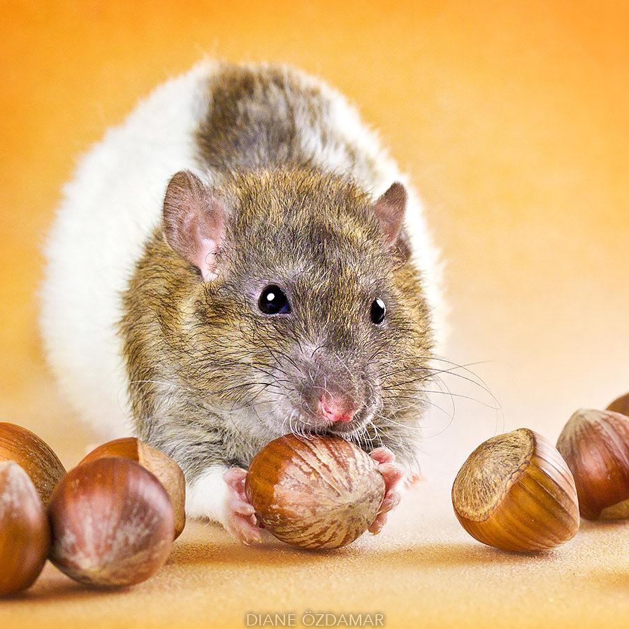 Такие милые...крысы