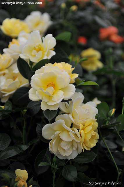 Rosa Simle Yellow.JPG