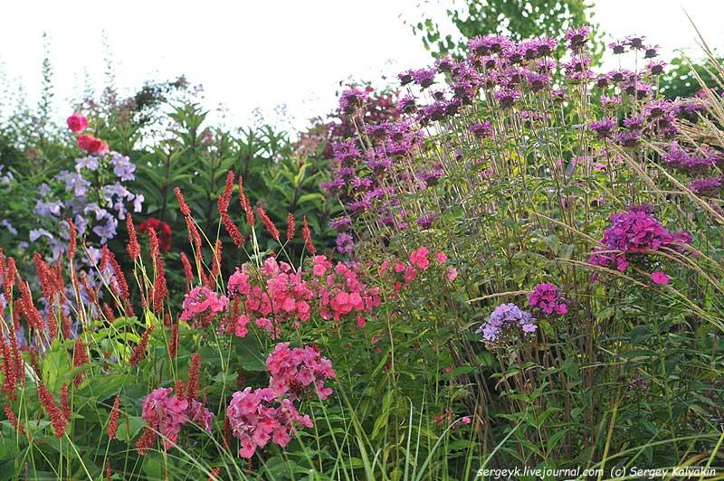 Phlox paniculata Anna Karenina Tenor Duesterlohe Cool of the Evening.JPG