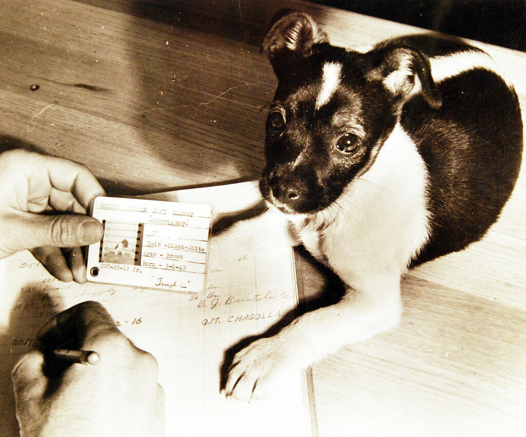 Scuttlebutt mascot of a US Navy minesweeper in the San Diego area, July 3, 1943. He is being shown given his ID and being logged in.