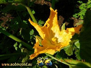 цветок кабачка