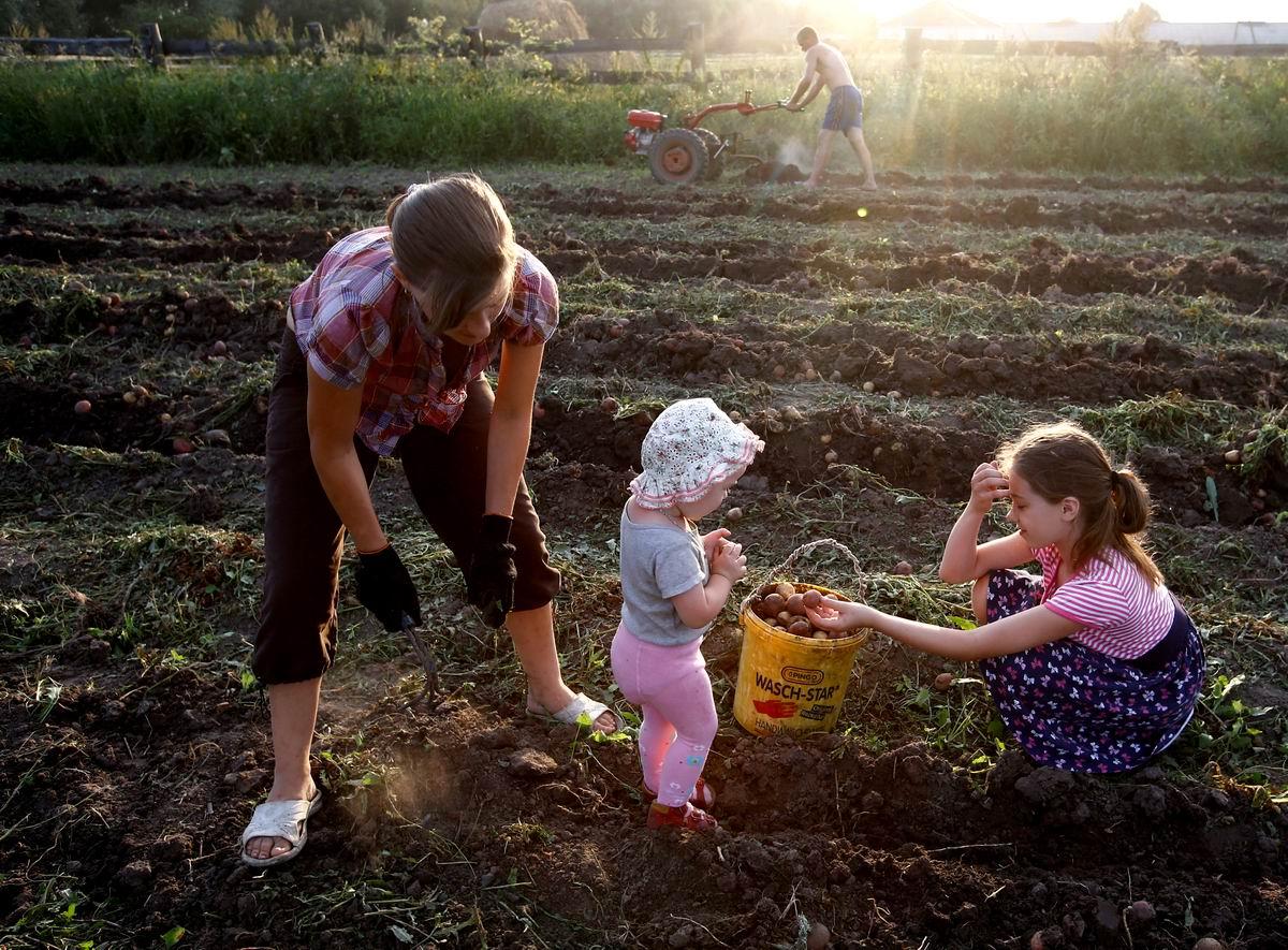 От мала до велика: Пора копать картошку