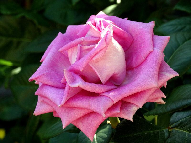 Розовое очарование...