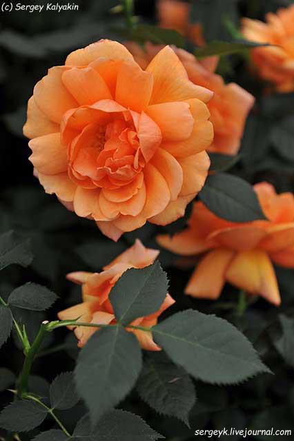 Rosa Jane Austen (2).JPG