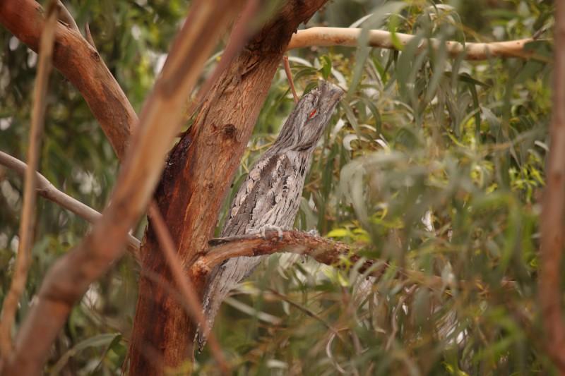 Птица исполинский белоног.