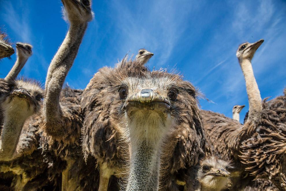 4. Обычной пищей страусов являются растения — побеги, цветы, семена, плоды, но при случае они п