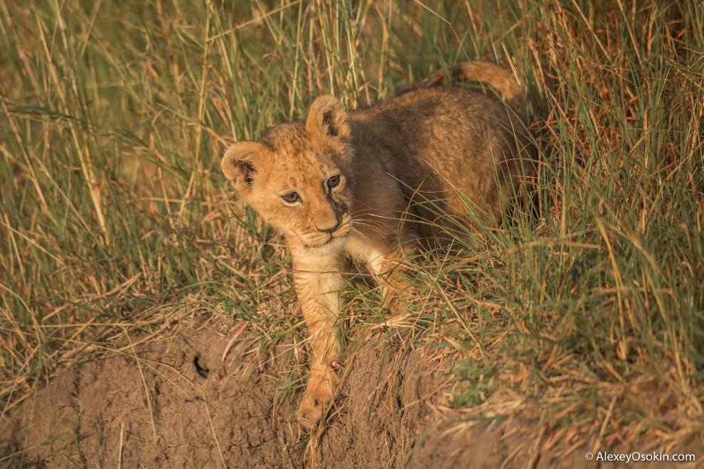 3. Для начала разберемся с предметом обсуждения. В современной дикой природе лев и тигр встрети