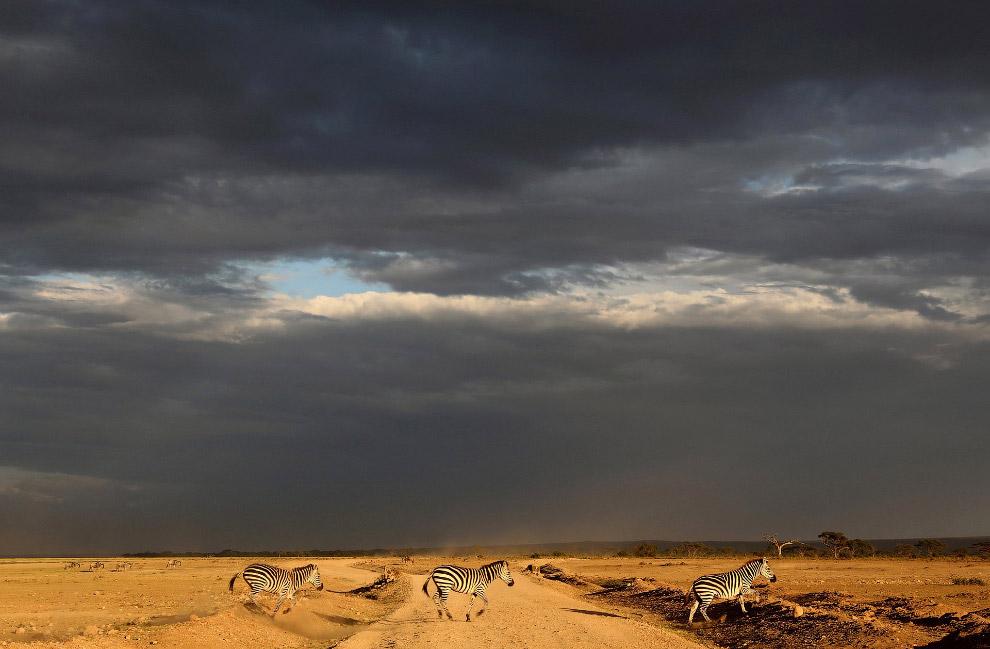 5. В парке Амбосели представлена одна из лучших возможностей наблюдения африканских животных из-за с