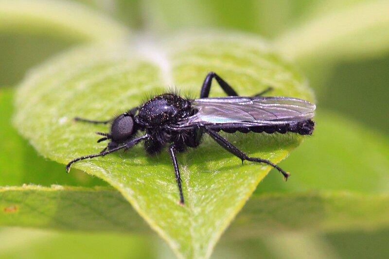 Муха чёрная, или муха апрельская, толстоножка Марка (лат. Bibio marci) из семейства Bibionidae (комары-толстоножки)