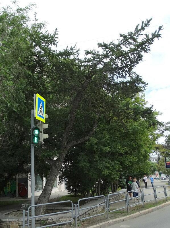Даурские лиственницы
