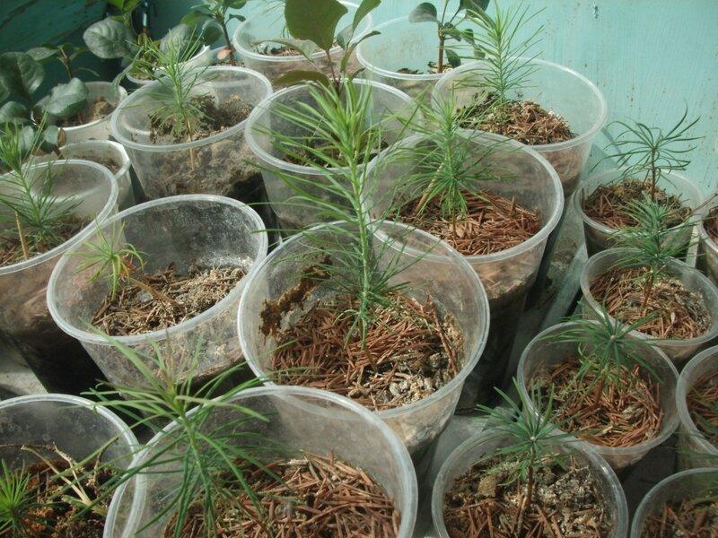 Как вырастить дерево из семени. Мои деревья.