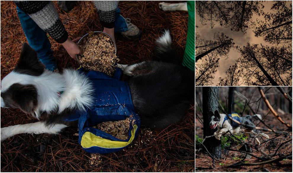 Собаки помогают восстанавливать сгоревший лес в Чили