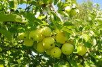 Сорт яблок - Яблочный налив.