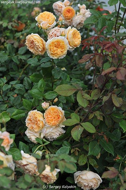 Rosa Lady Emma Hamilton  (5).JPG