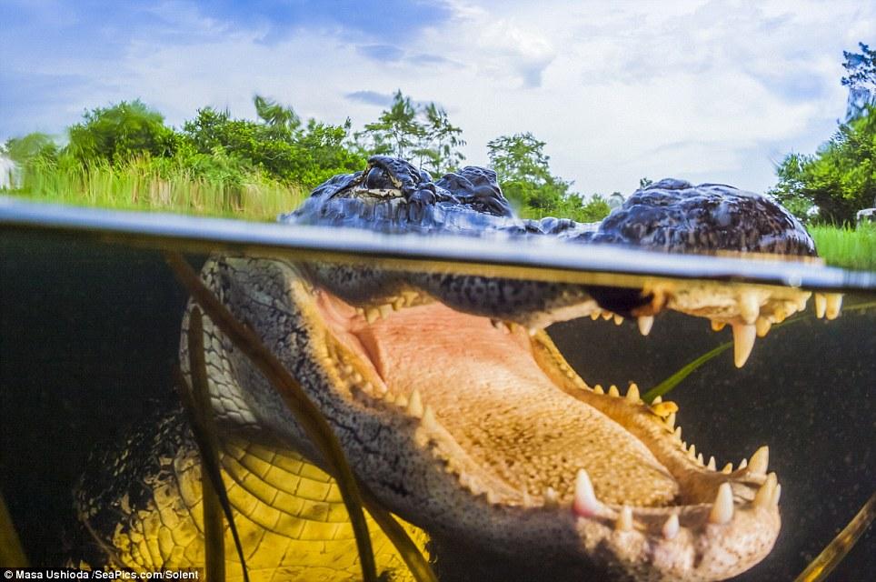 У этих древних хищников нет врагов, кроме человека, они находятся на вершине пищевой цепи. Алли