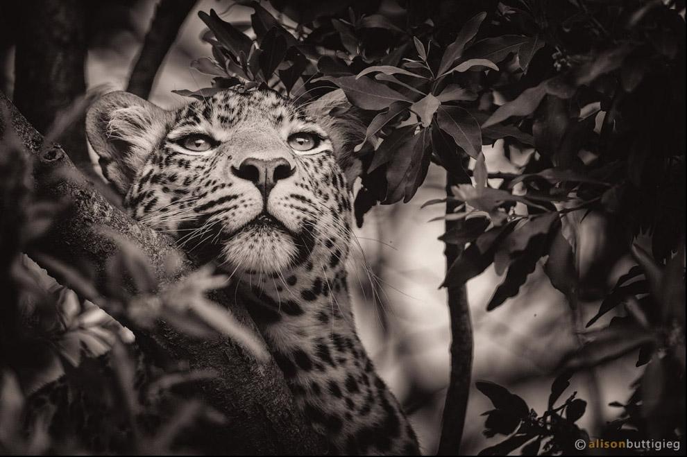 6. Хищный взгляд леопарда.