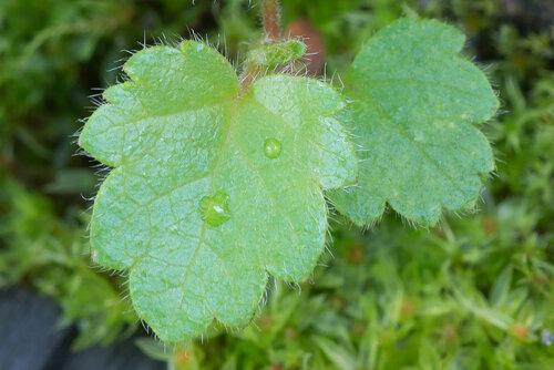 Берёза пушистая (Betula pubescens) Автор: Владимир Брюхов