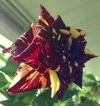 Разное - Роза Abracadabra