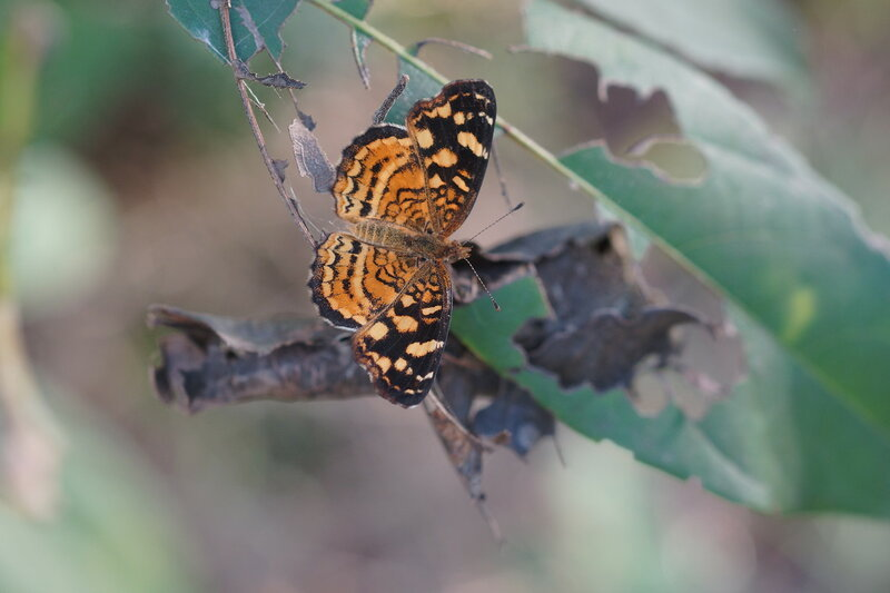 Anthanassa frisia frisia The Cuban Crescentspot, Cuban Checkerspot, or Cuban Crescen
