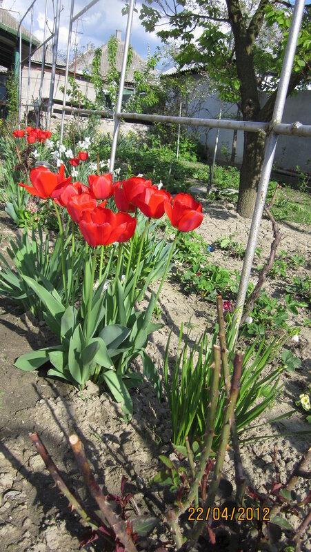 Красные тюльпаны...