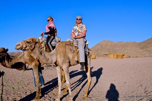 египет, верблюды