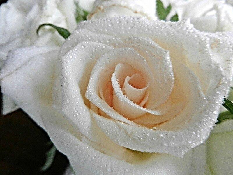 Нежная роза для Инночки!