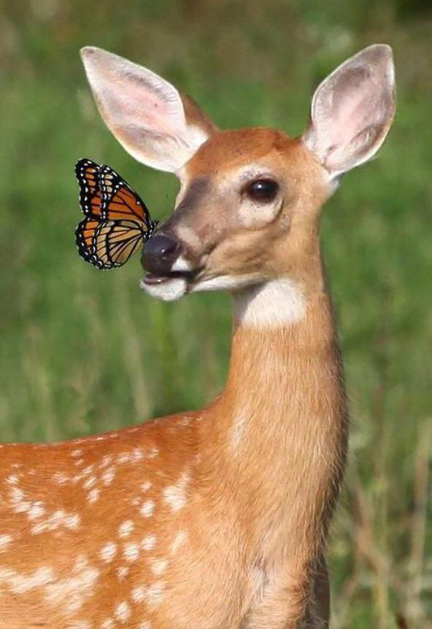 deerwbutterfly__880.png
