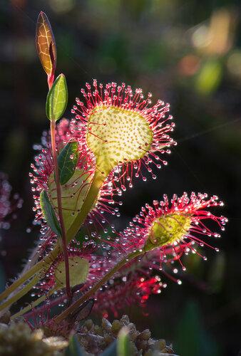 Росянка круглолистная (Drosera rotundifolia) Автор: Владимир Брюхов