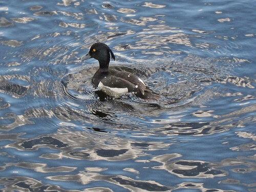 Самец в голубых водах Яузы. Автор фото: Юрий Семенов