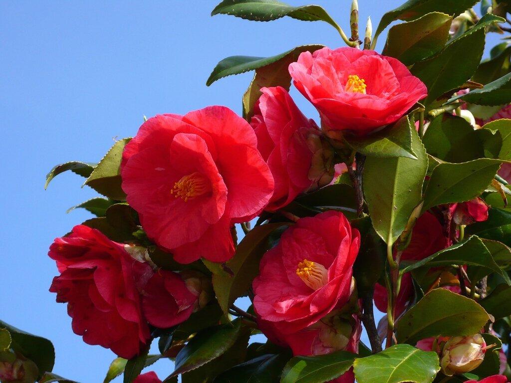 Камелия. Пришла весна, пора цветения, Тояма, Япония