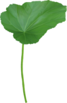 ial_elb_huge_leaf.png