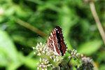 Новая бабочка
