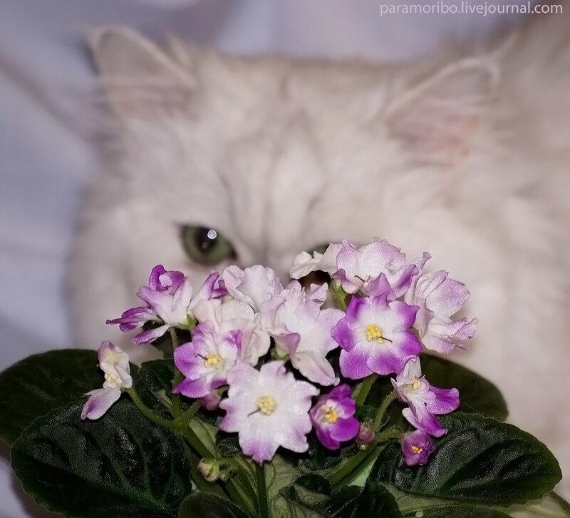 Сенполия гибридная - Saintpaulia ionantha hybrids, сорт неизвестен / обратите внимание - все цветки разной формы и оттенка