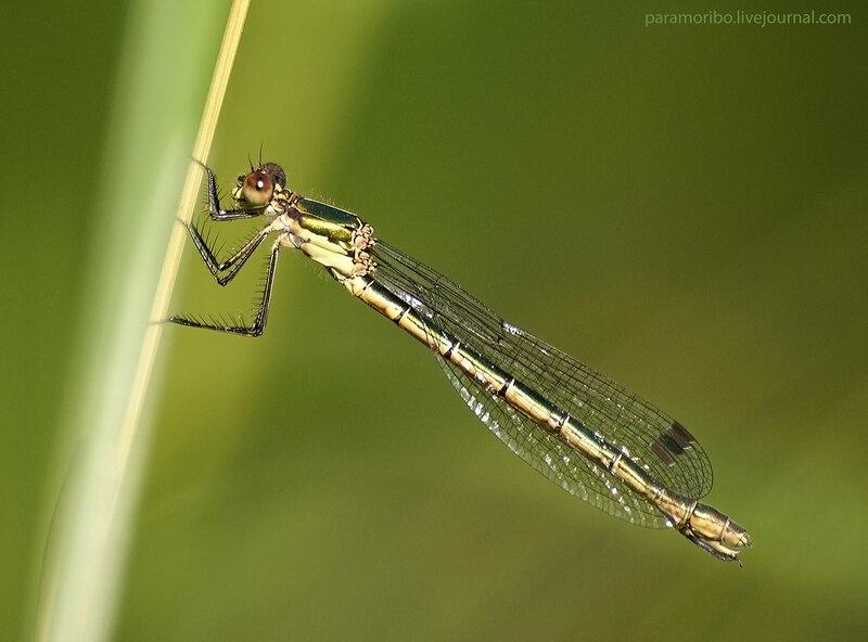 Emerald Spreadwing - Лютка-дриада - Lestes dryas/Семейство Лютки - Lestidae,  Подотряд Равнокрылые - Zygoptera,  Отряд Стрекозы - Odonata