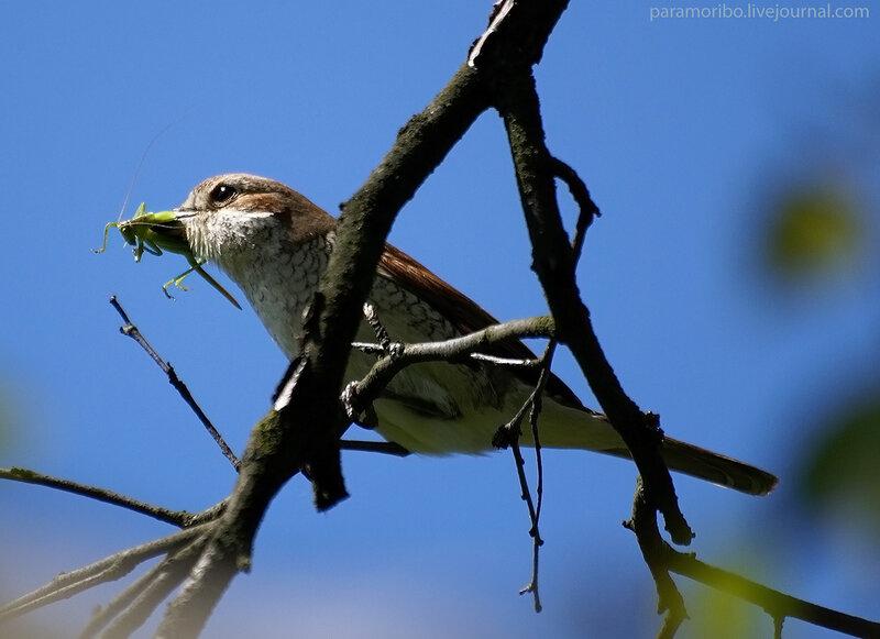 Не повезло сегодня самке кузнечика, зато повезло самочке сорокопута жулана (Lanius collurio) и ее птенцам