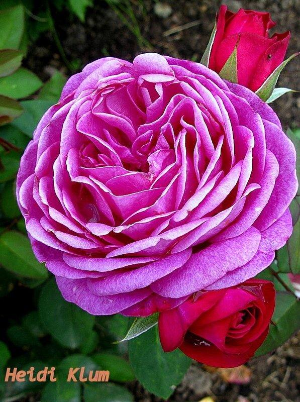 Роза высоцкий фото и описание