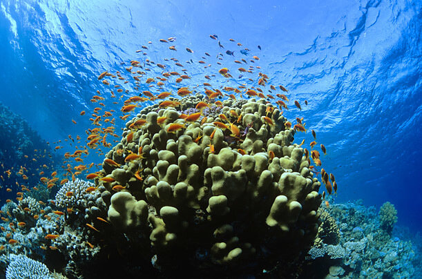 According to a survey by the Global Marine Species Assessment, one third of the more than 700 species of reef building corals are threatened with extinction. Here, Scale fin Anthias swim on Coral Reef near Ras Mohammad, Egypt.