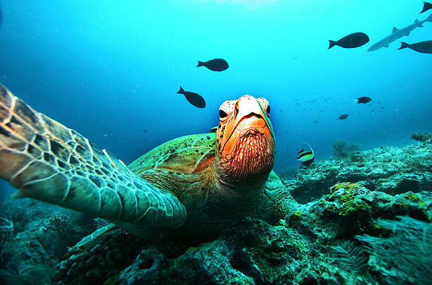 Over fishing is a big killer or coral. A giant green turtle rests on a reef at a diving site near the island of Sipadan in Celebes Sea east of Borneo.